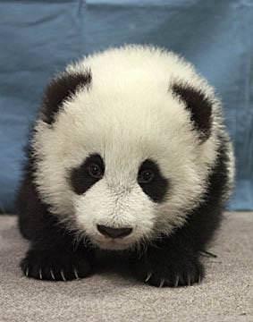 çin panda